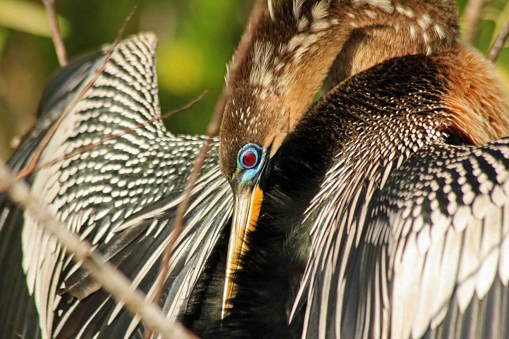 Anhinga. Photo: Richard Schmidt/Audubon Photography Awards.