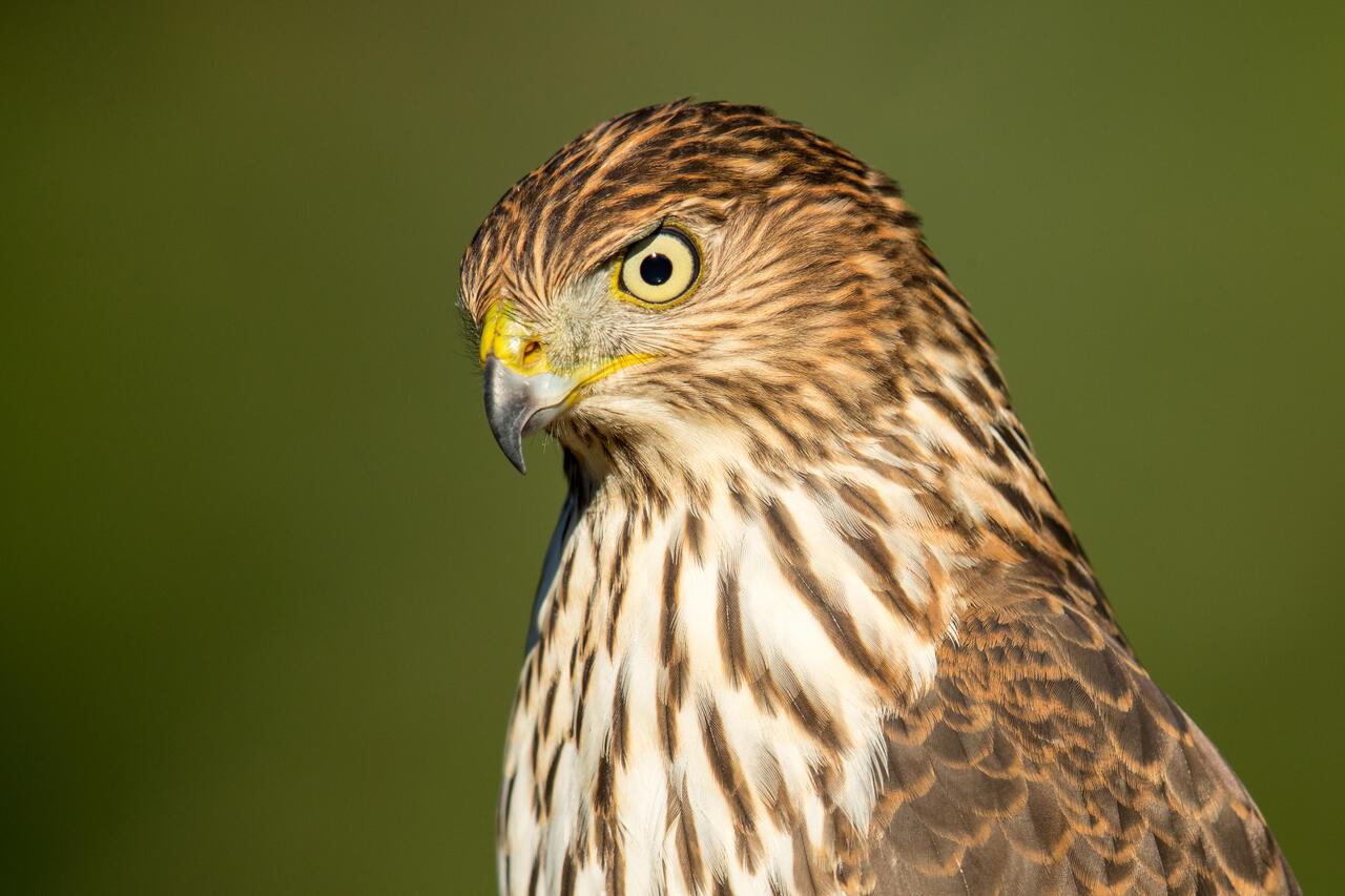 Cooper's Hawk photo by Mick Thompson