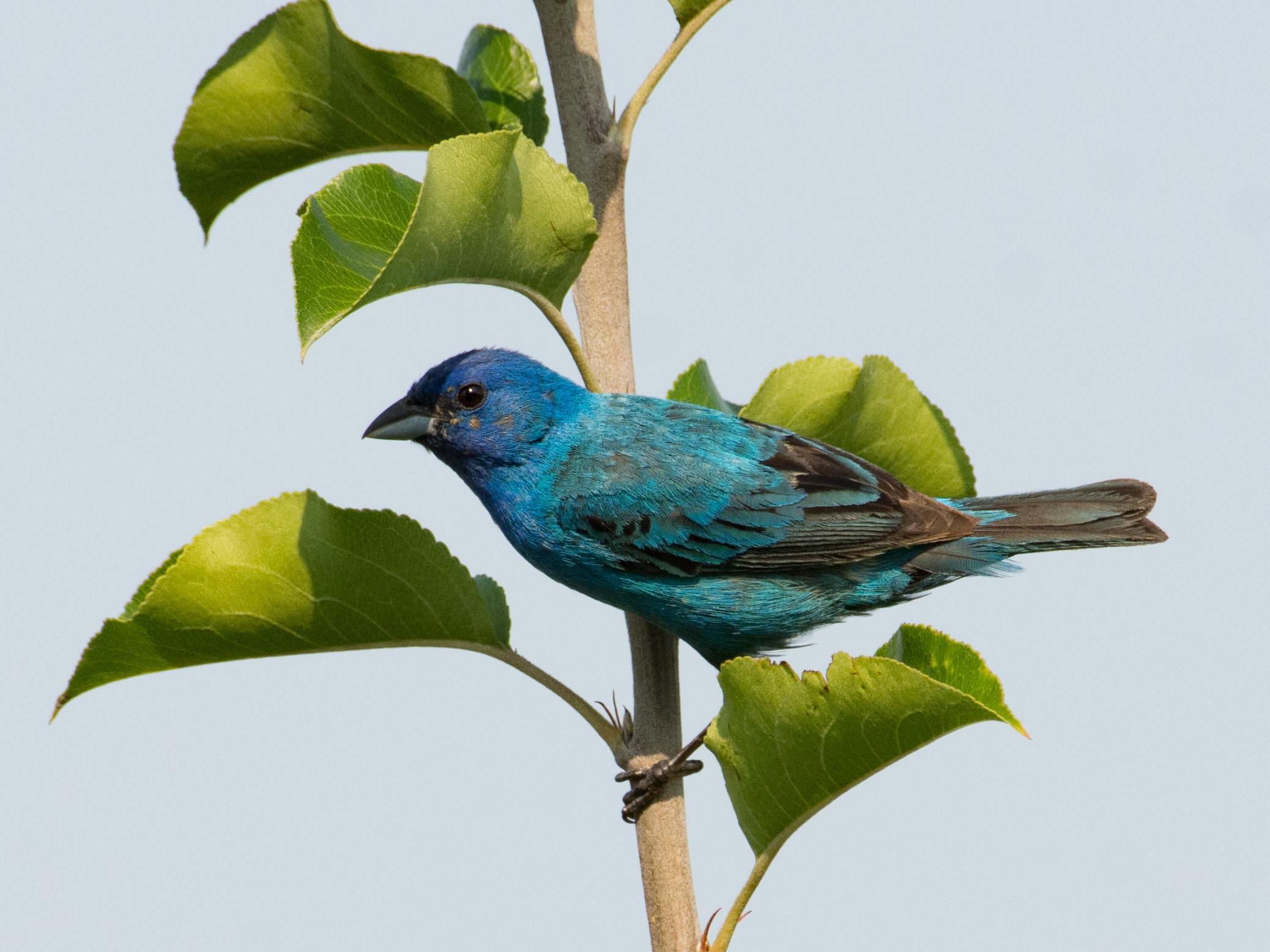 Indigo Bunting. Tamima Itani/Audubon Photography Awards