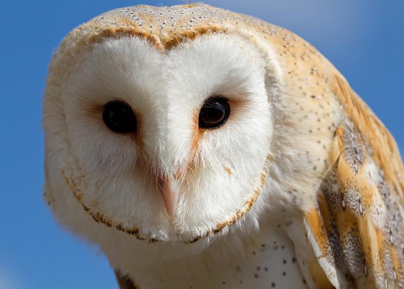 Barn Owl photo by Tony Hisgett