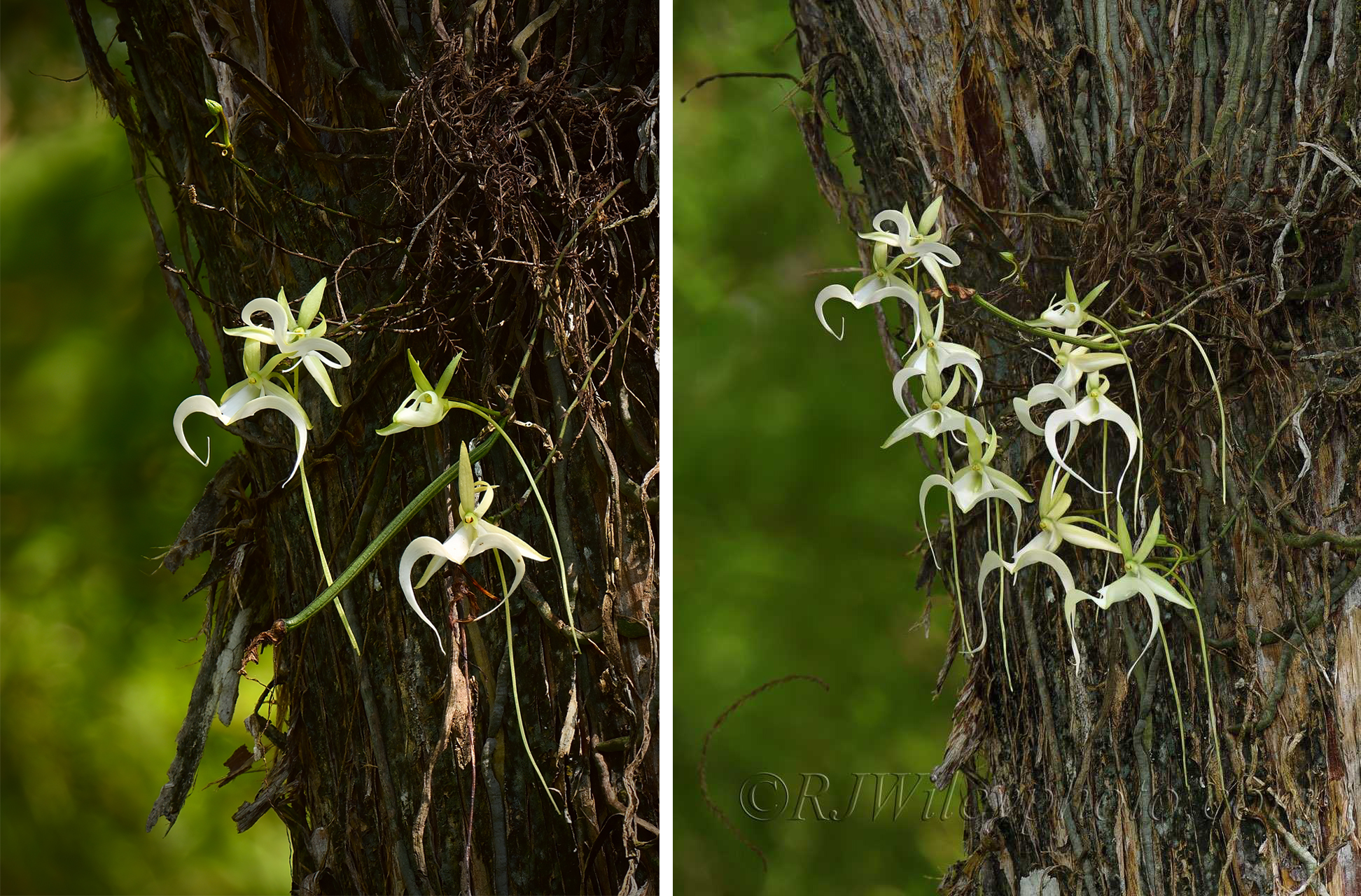 super ghost orchid as photographed and in portrait