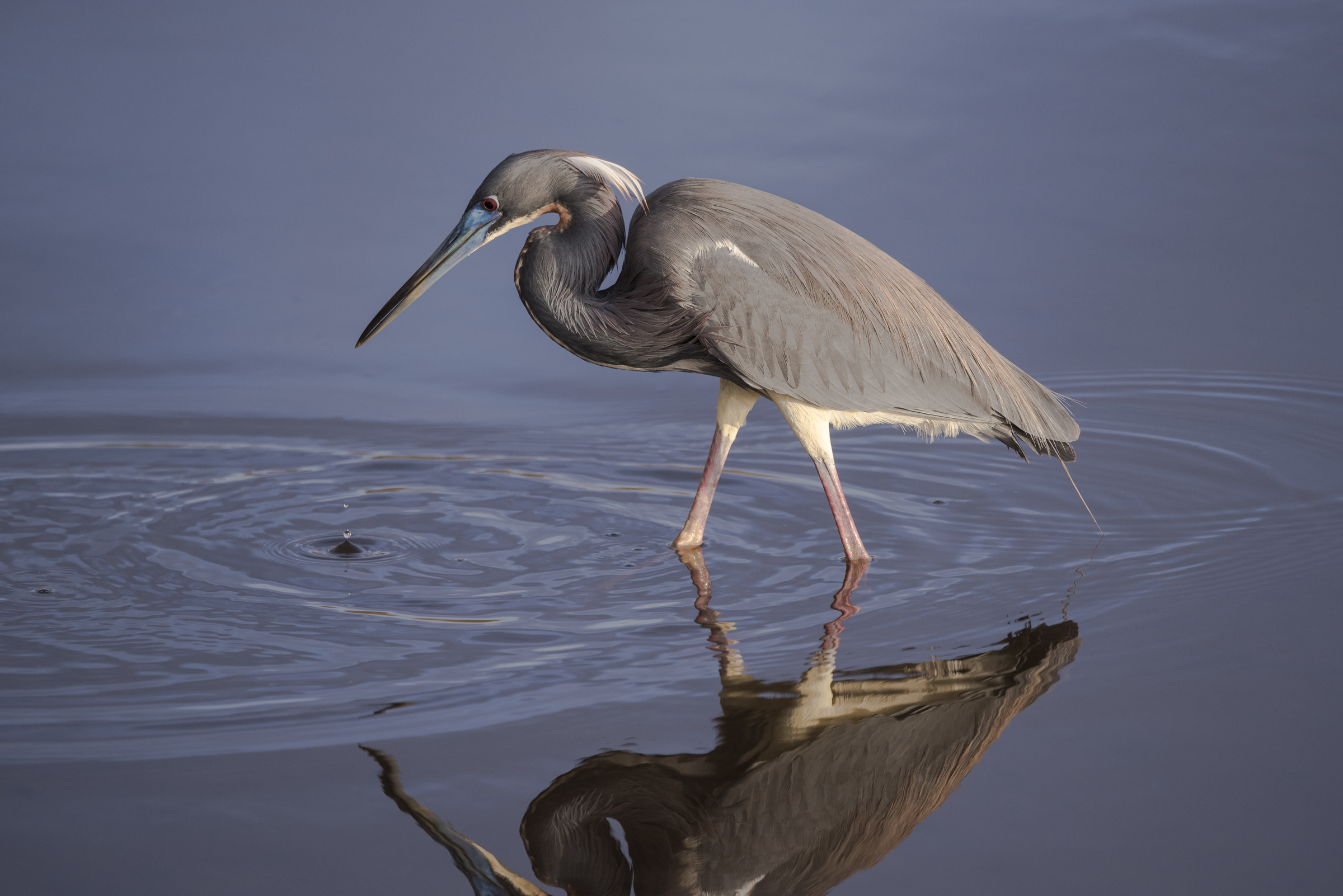Tricolored Heron. Photo: Ira Rappaport/Audubon Photography Awards.