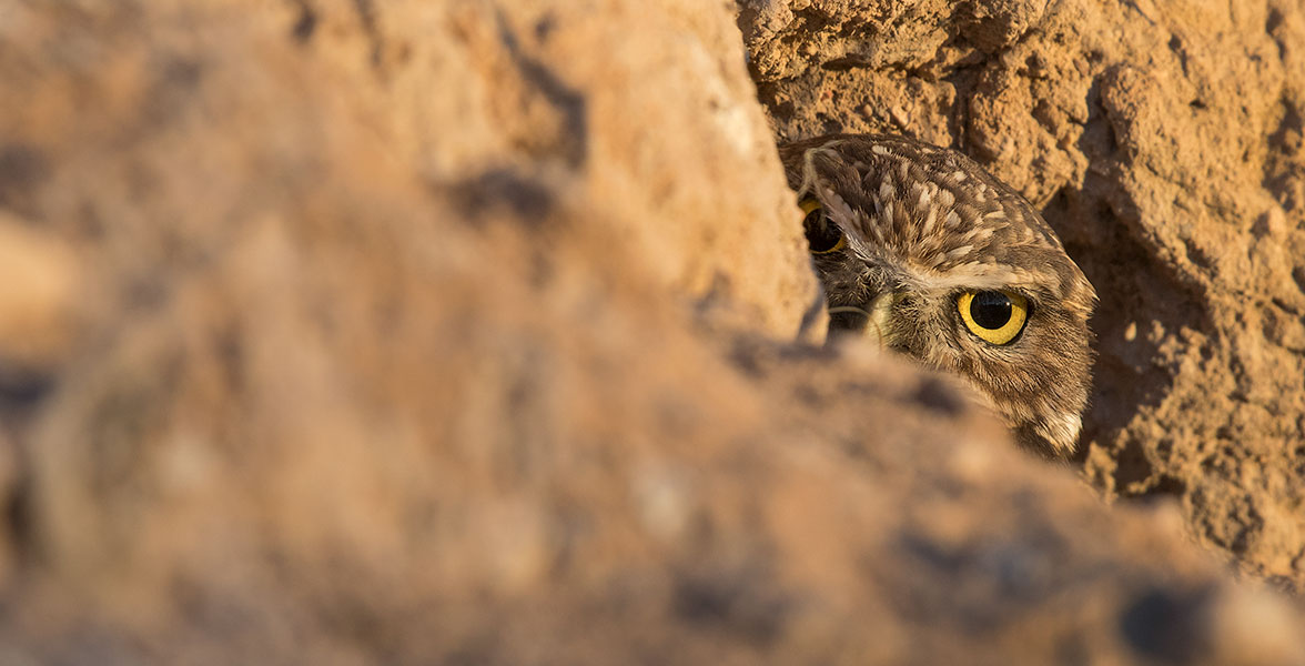 A Burrowing Owl peers out of its burrow.