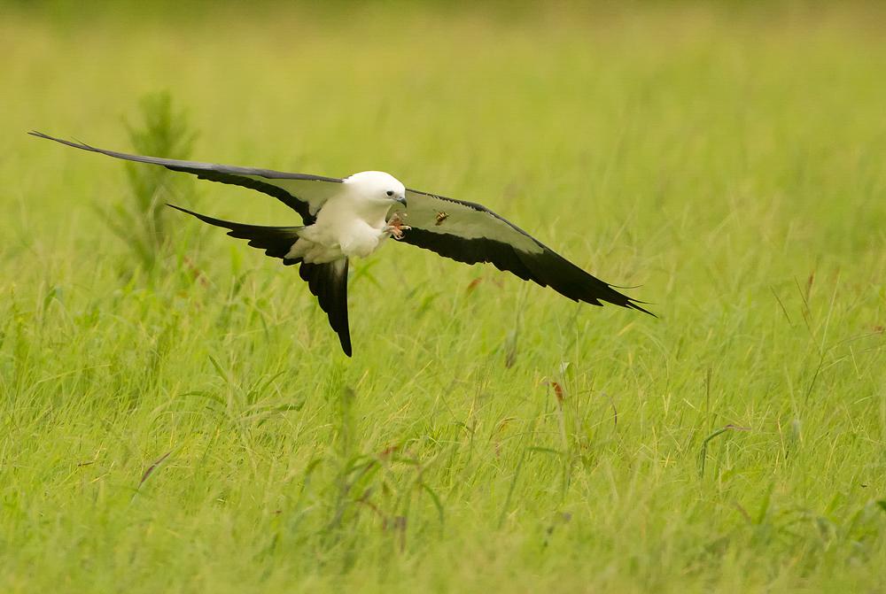 Swallow-tailed Kite. Photo: Donald Wuori.