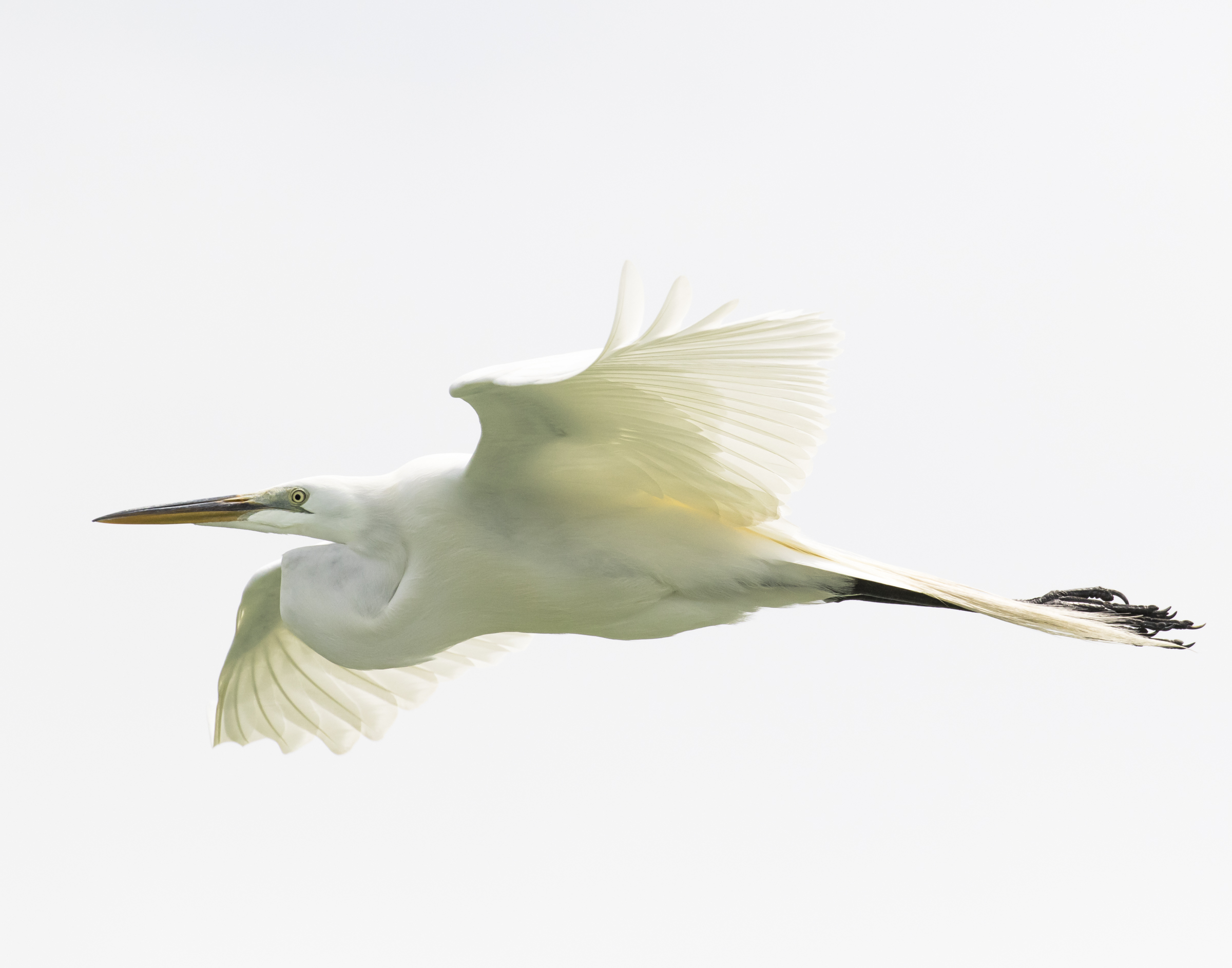 Great Egret. Photo: Clyde Comstock.