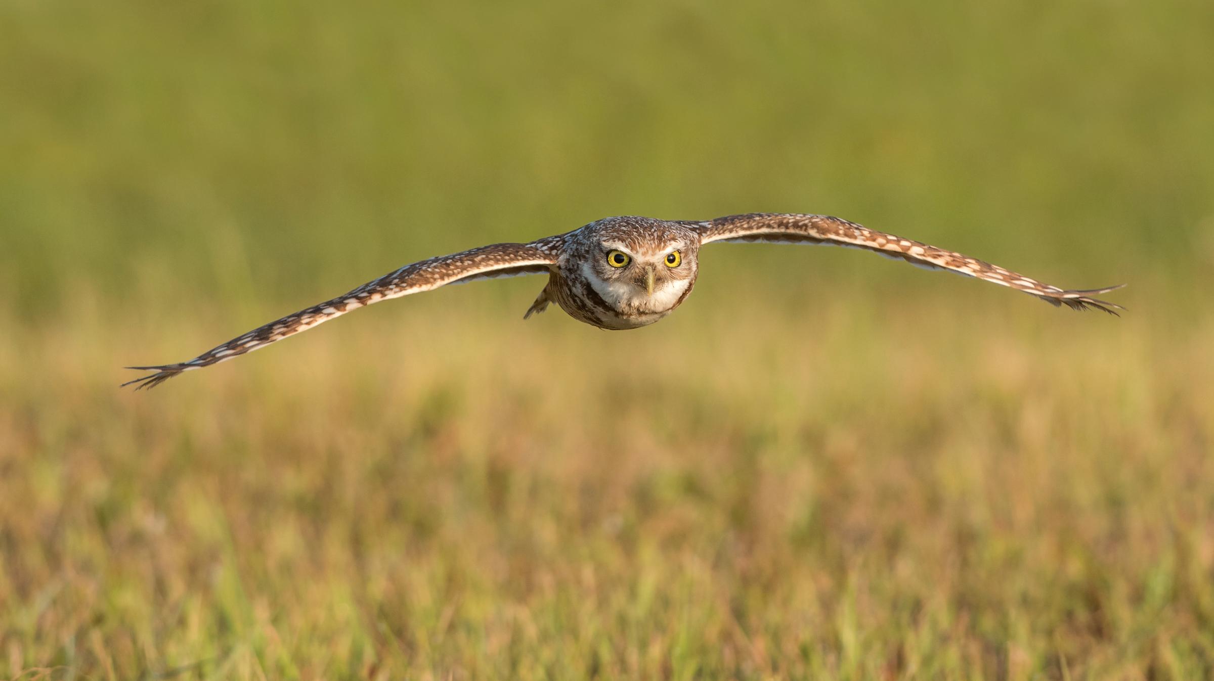 Burrowing Owl. Photo: Peter Brannon/Audubon Photography Awards.