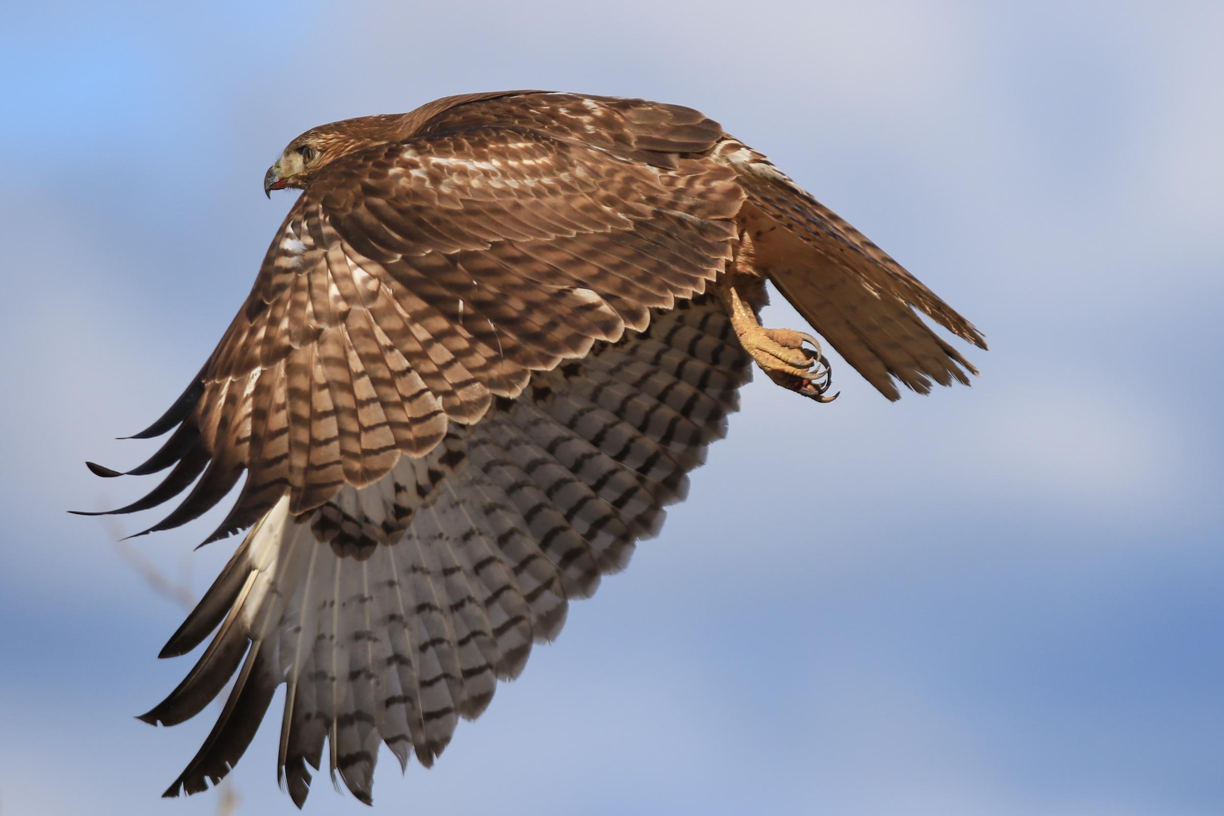 Red-tailed Hawk. Photo: Christine Miller/Audubon Photography Awards.