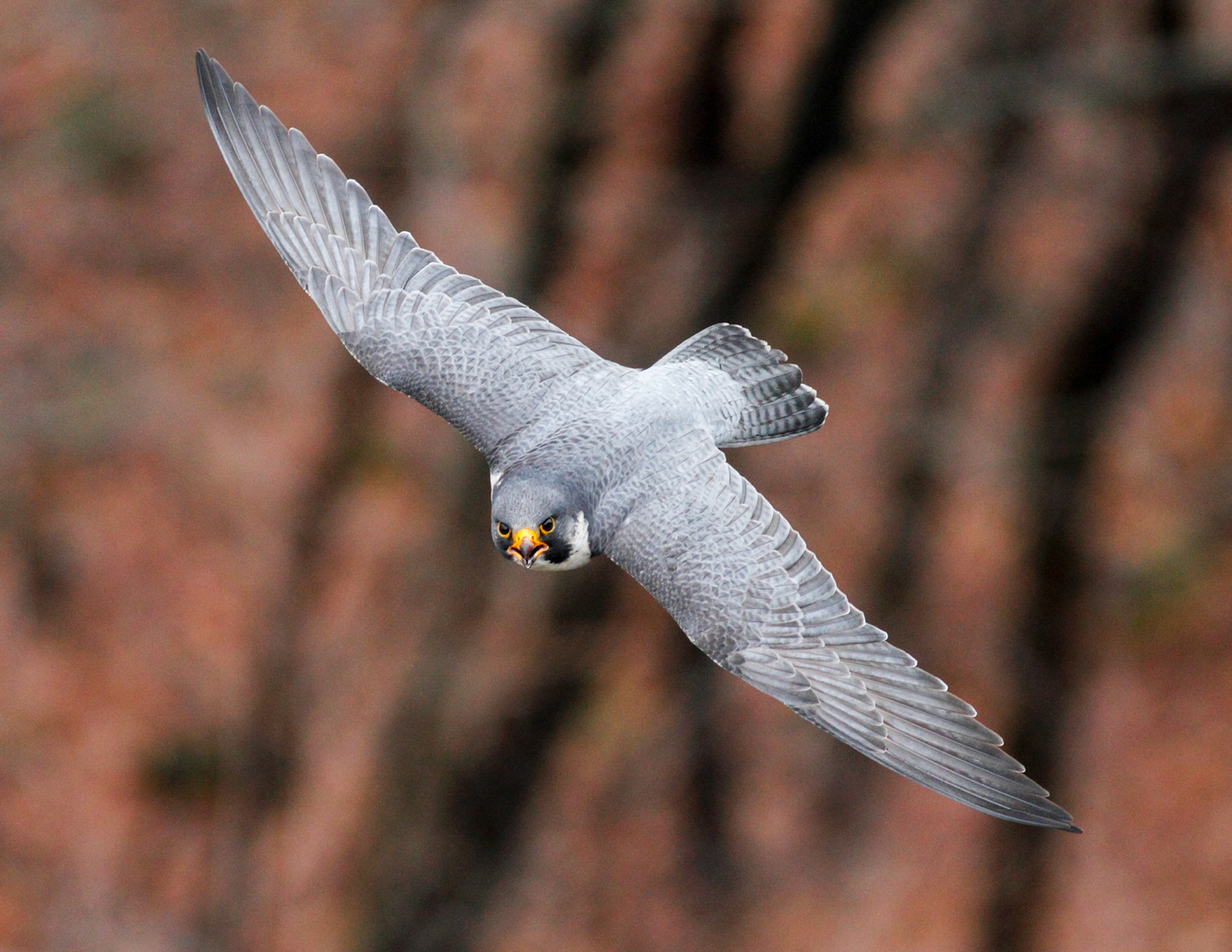 Peregrine Falcon. Photo: Steven Sachs/APA.