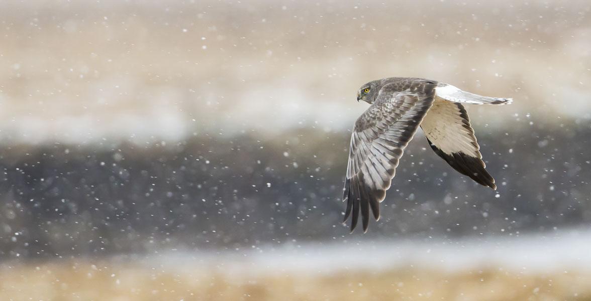 A Northern Harrier flies through snowfall.