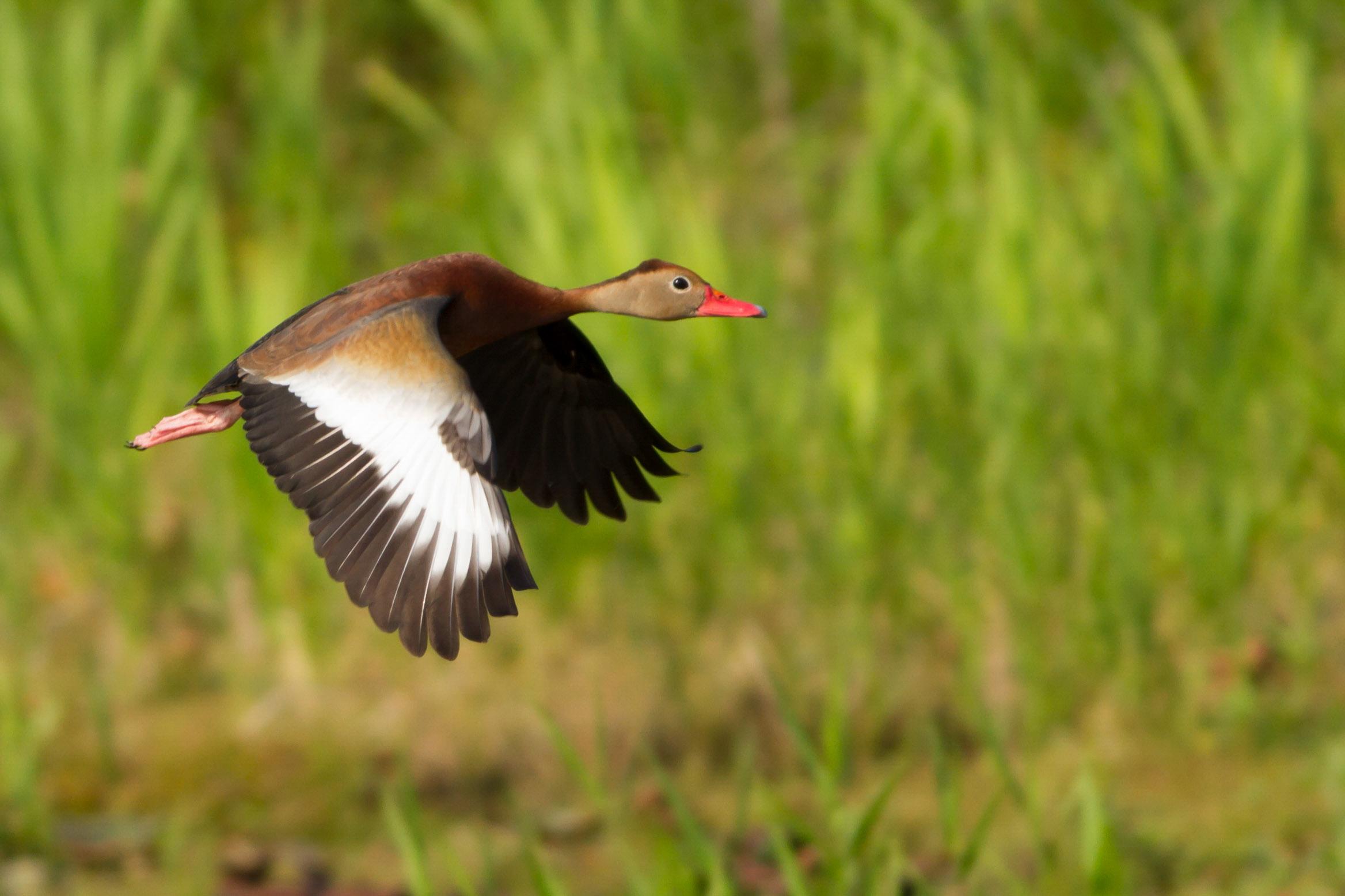 Black-bellied Whistling Duck. Photo: Kyle Fritz/Audubon Photography Awards.