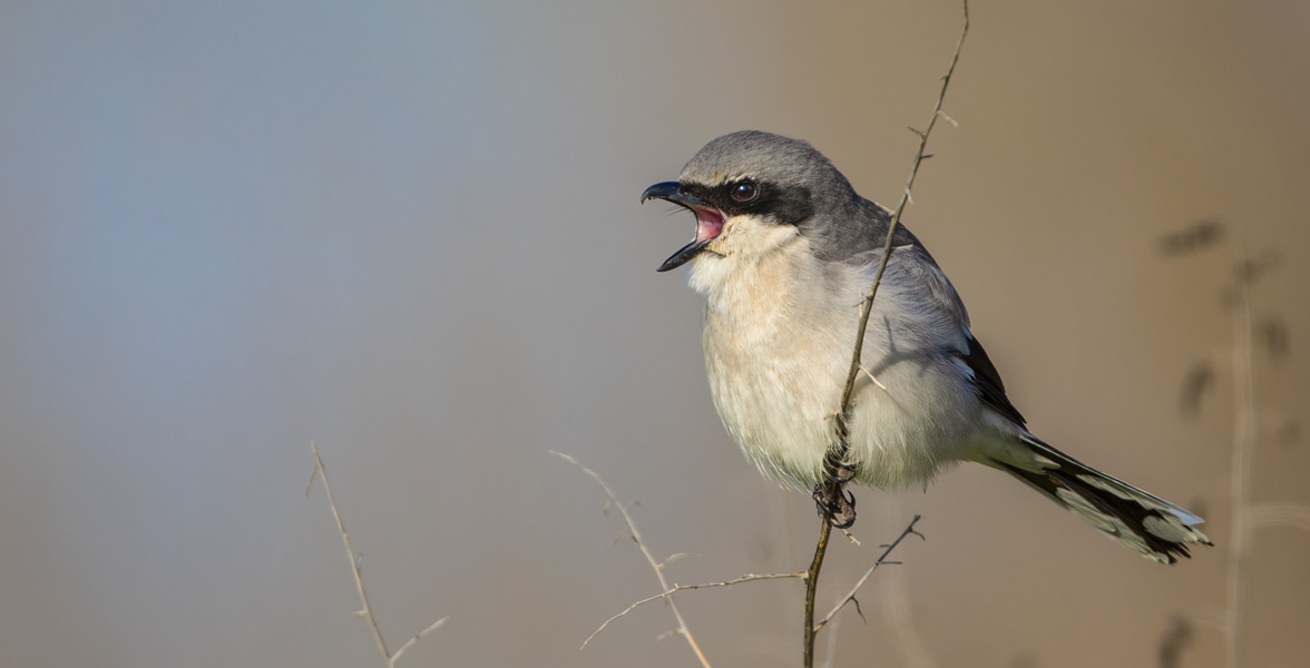 A Loggerhead Shrike calls from a branch.