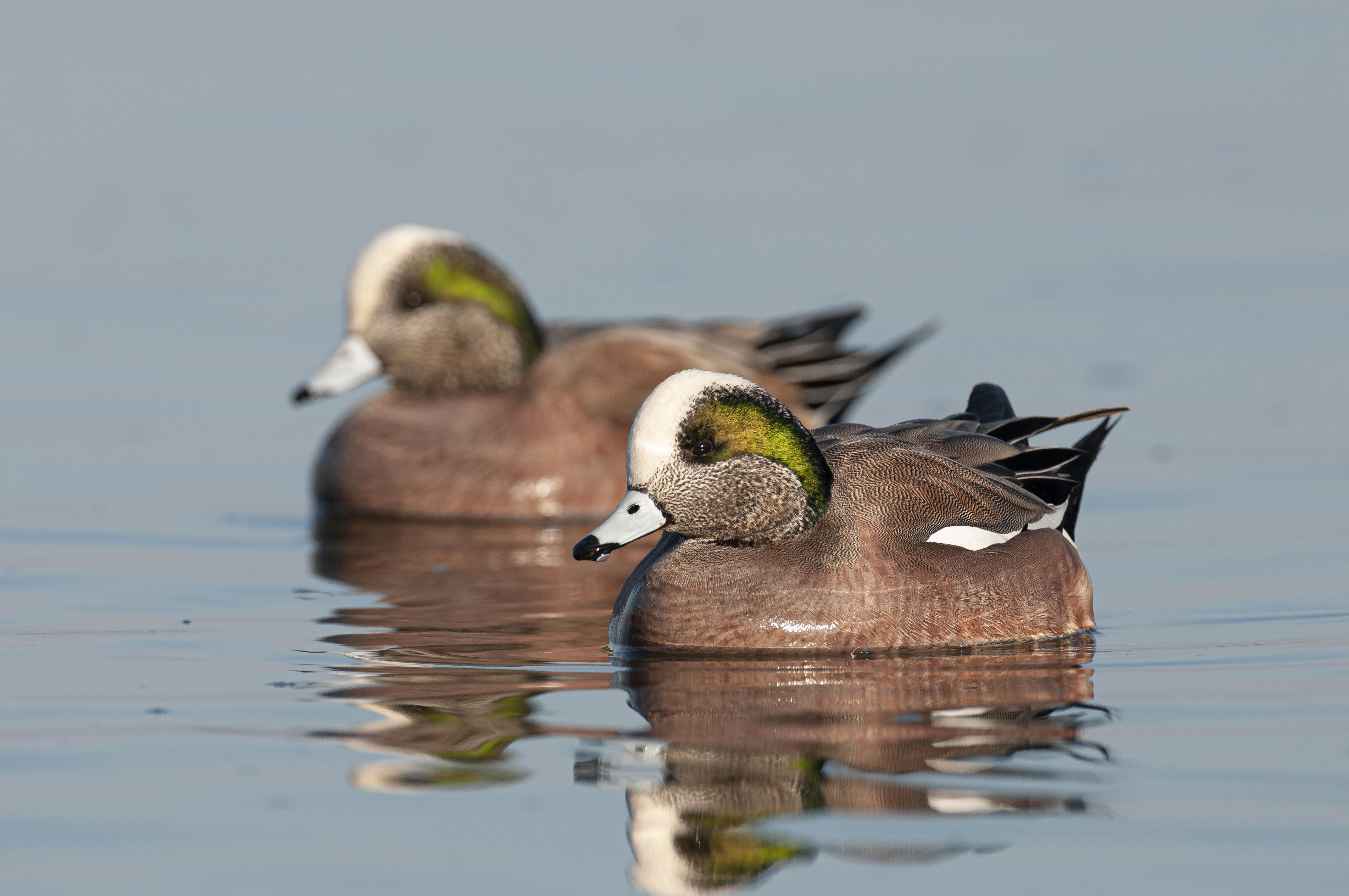 American Widgeon. Photo: Walker Golder/Audubon Photography Awards