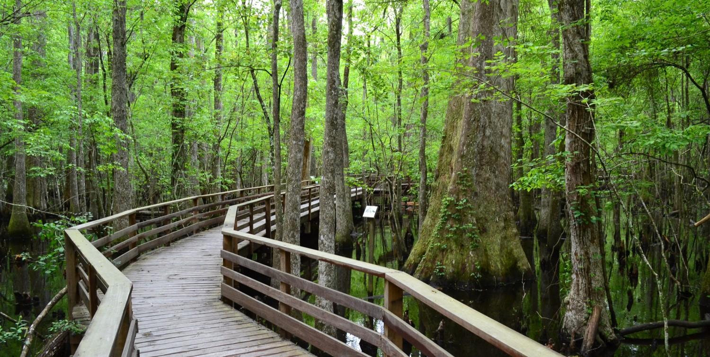 Boardwalk meandering through swamp
