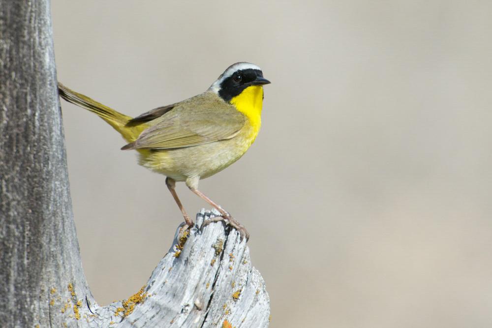 Common Yellowthroat. Photo: Paul Gardner/Audubon Photography Awards.