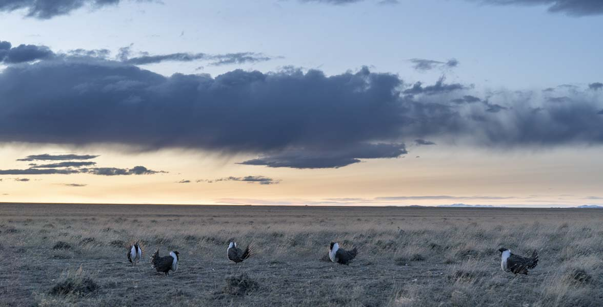 Five male Greater Sage-Grouse perform courtship displays at sunset.