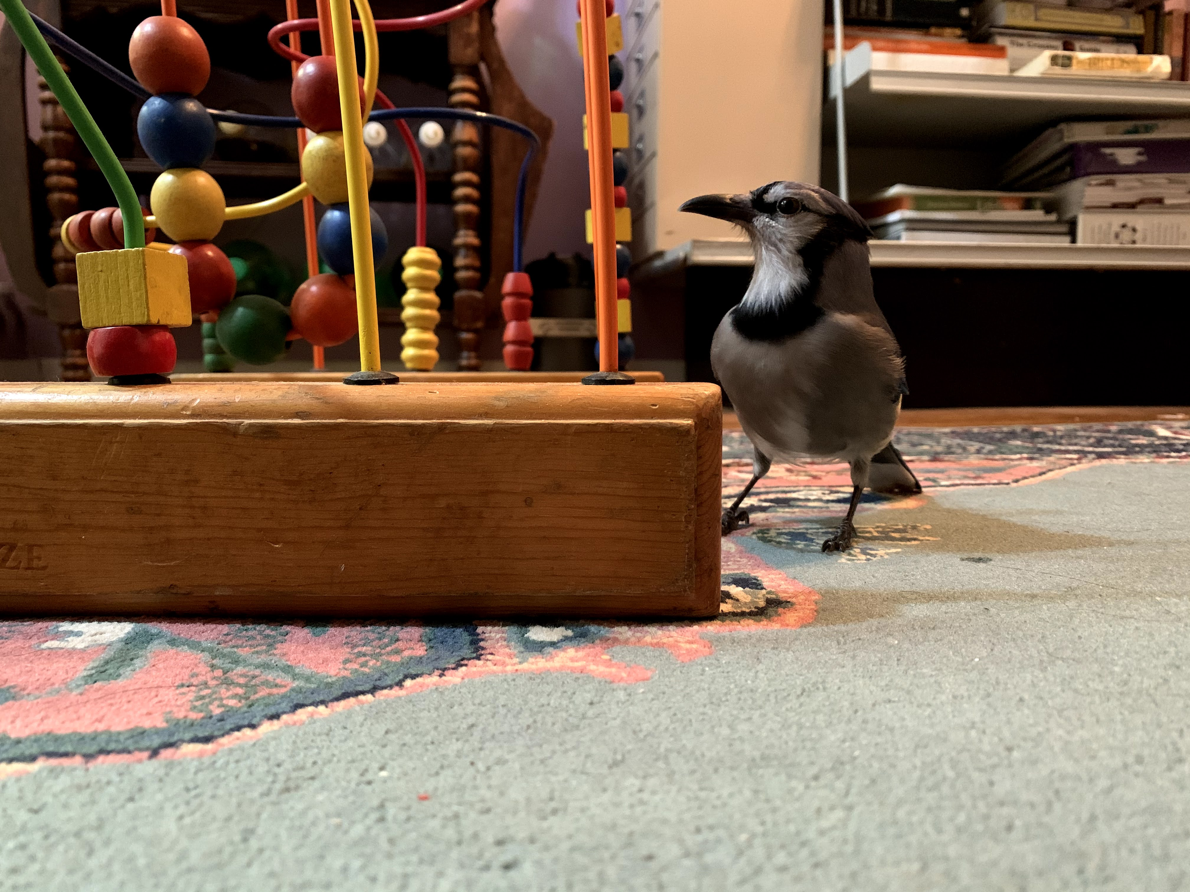 Blue Jay stands next to a child's toy on a blue and pink rug