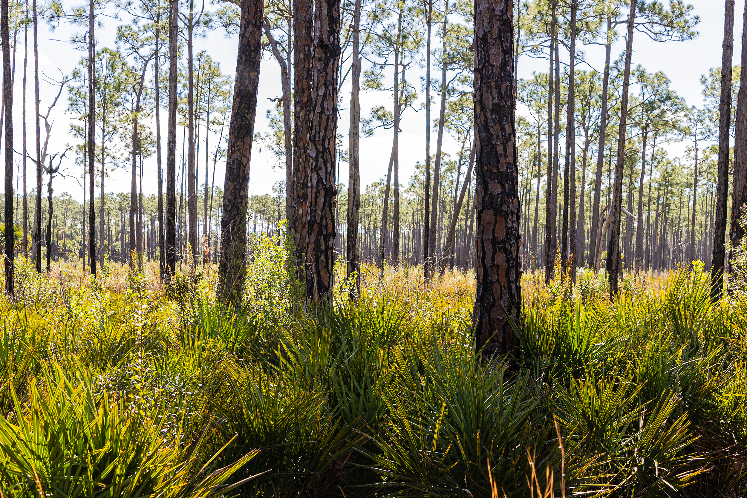 Pine flatwoods. Photo: Arnold Collens.
