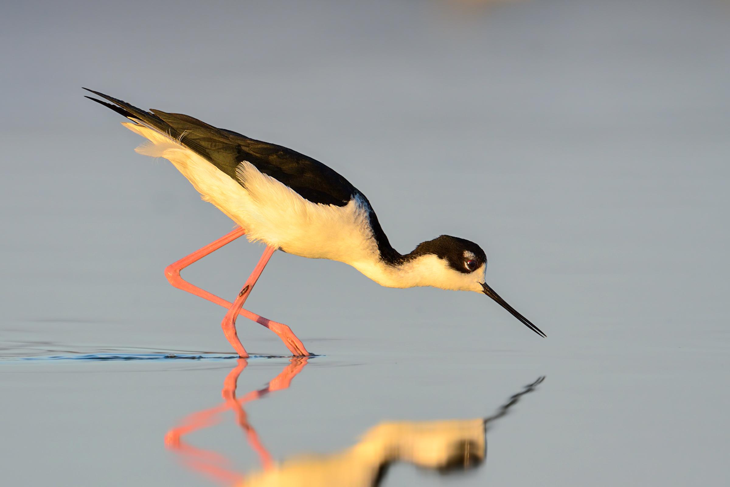 Black-necked Stilt. Photo: William Dix/Audubon Photography Awards.