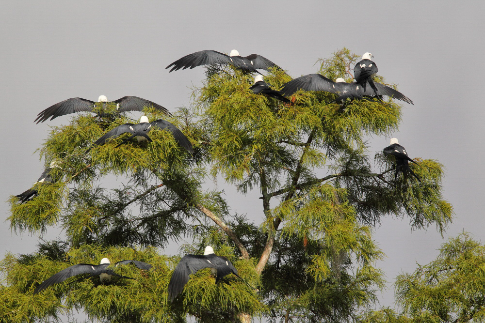 Swallow-tailed Kites. Photo: Layton Parham/Audubon Photography Awards.