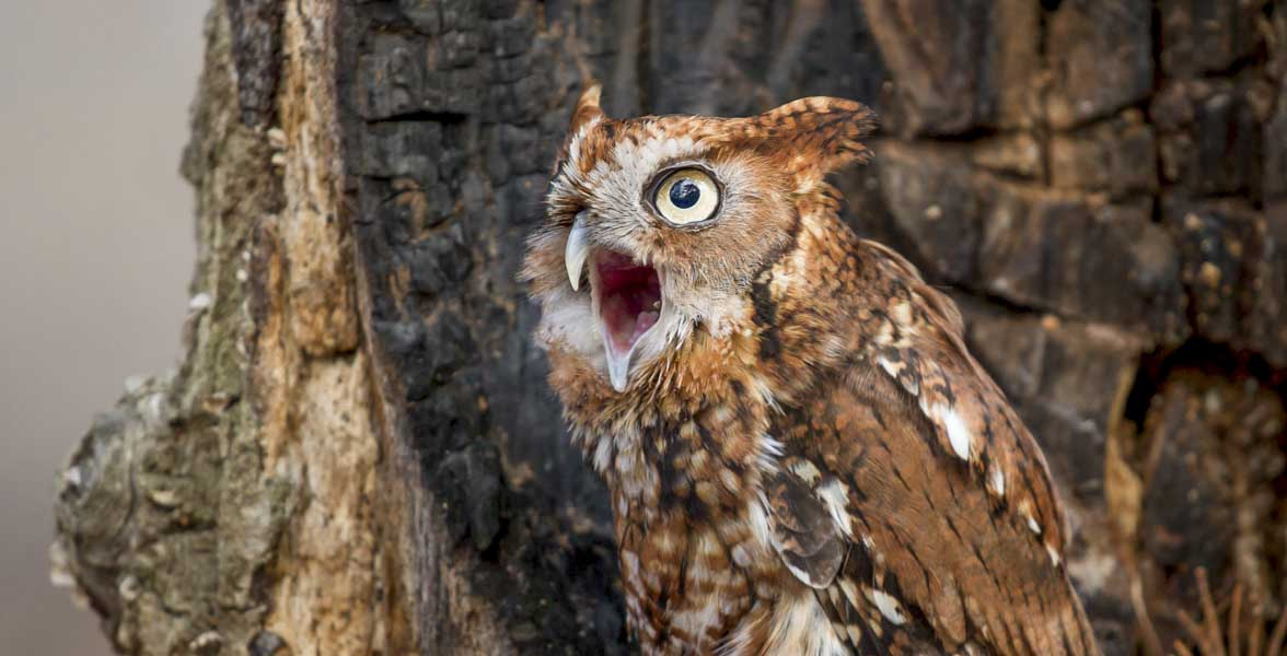An Eastern Screech-Owl with its mouth open.