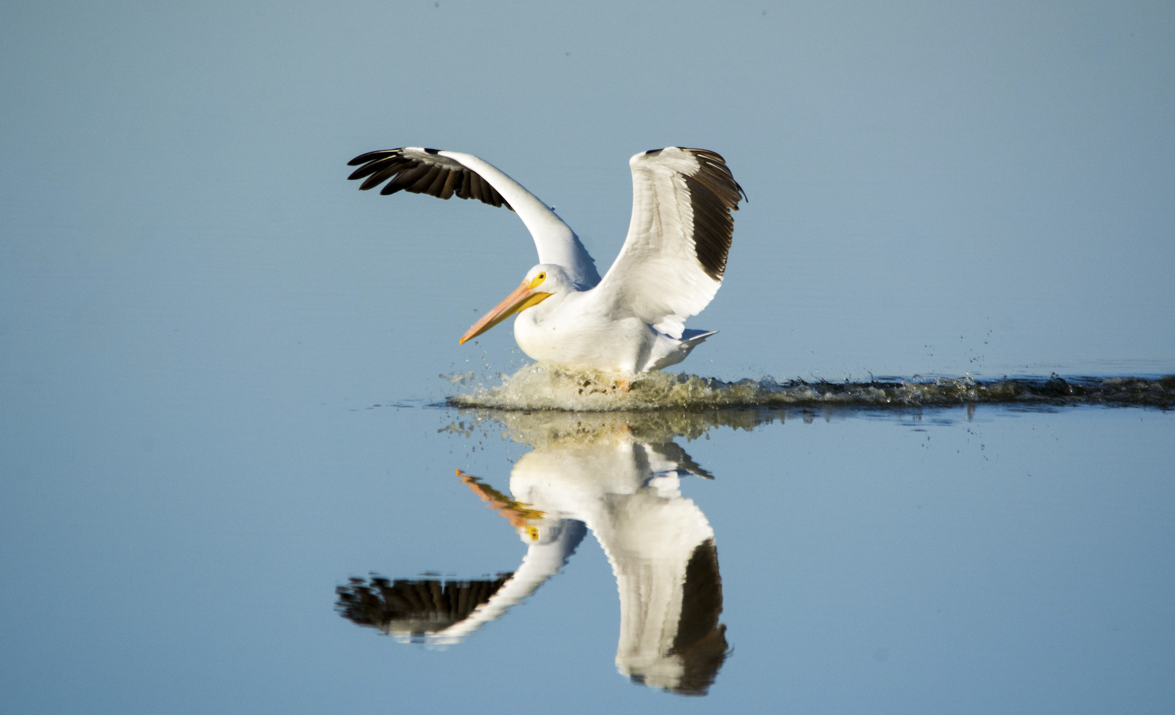American White Pelican. Photo: Georgia Wilson / Great Backyard Bird Count.