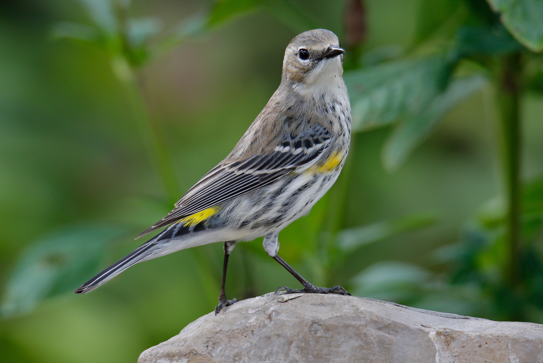 Yellow-rumped Warbler. Photo: Julie Torkomian/Audubon Photography Awards.