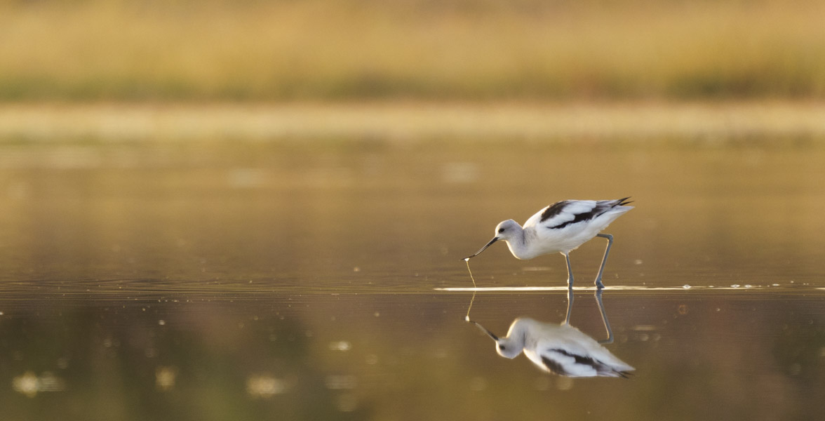 American Avocet wading in shallow water.
