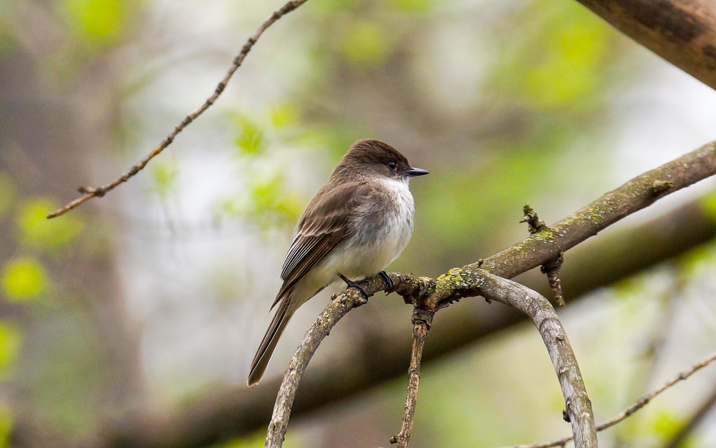 Eastern Phoebe. Photo: Andrea Hedblom / Audubon Photography Awards.