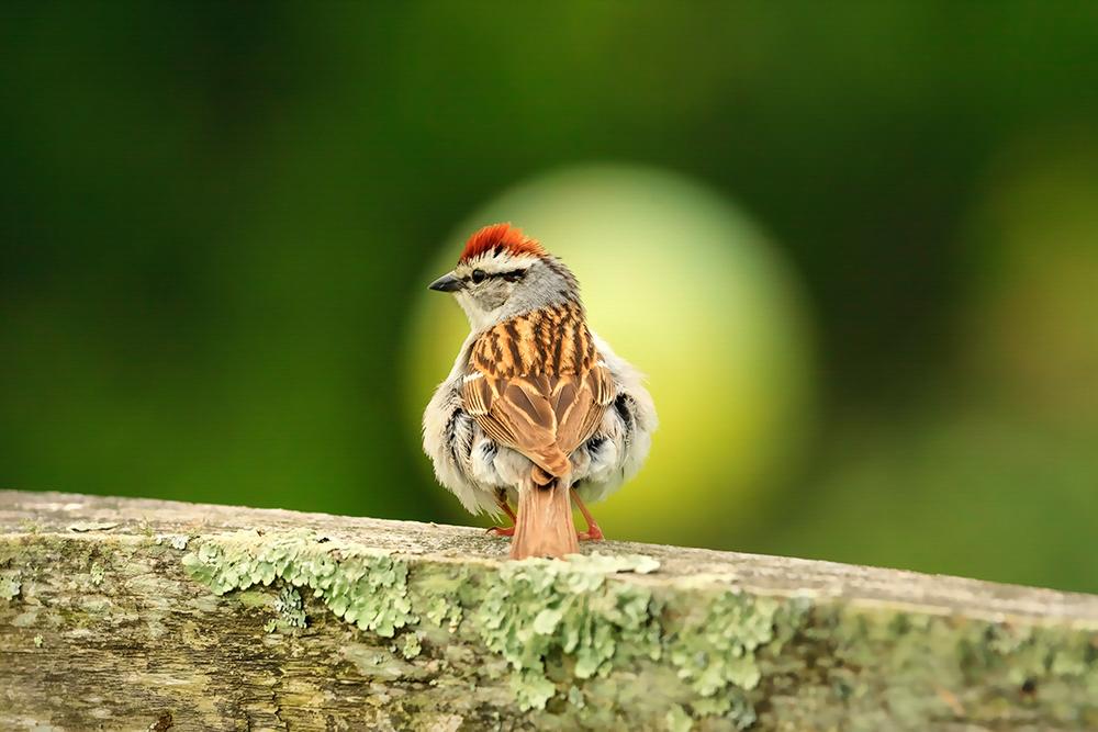 Chipping Sparrow. Photo: Hazel Erikson/Audubon Photography Awards.
