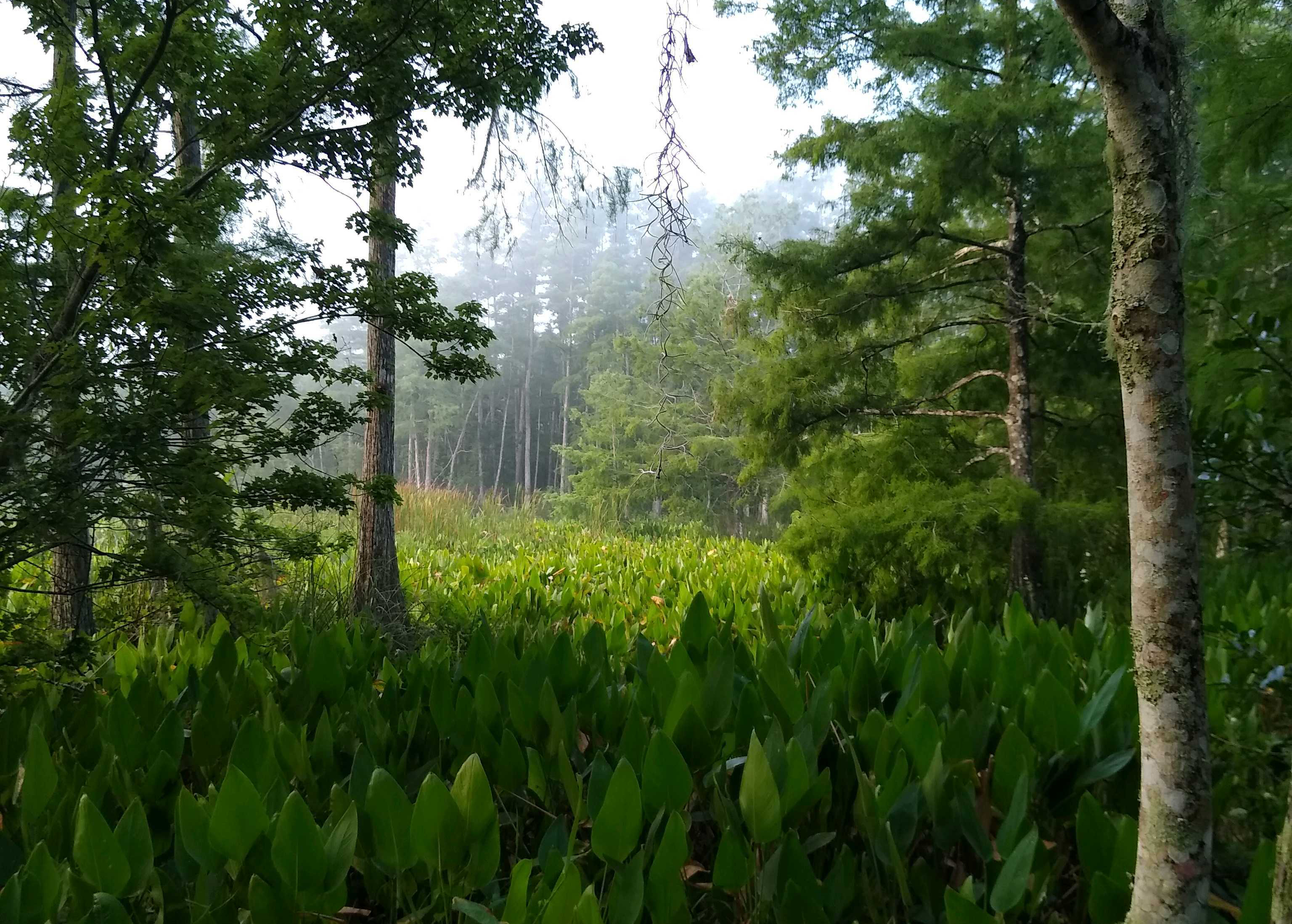 Alligator flags and other wetland plants.
