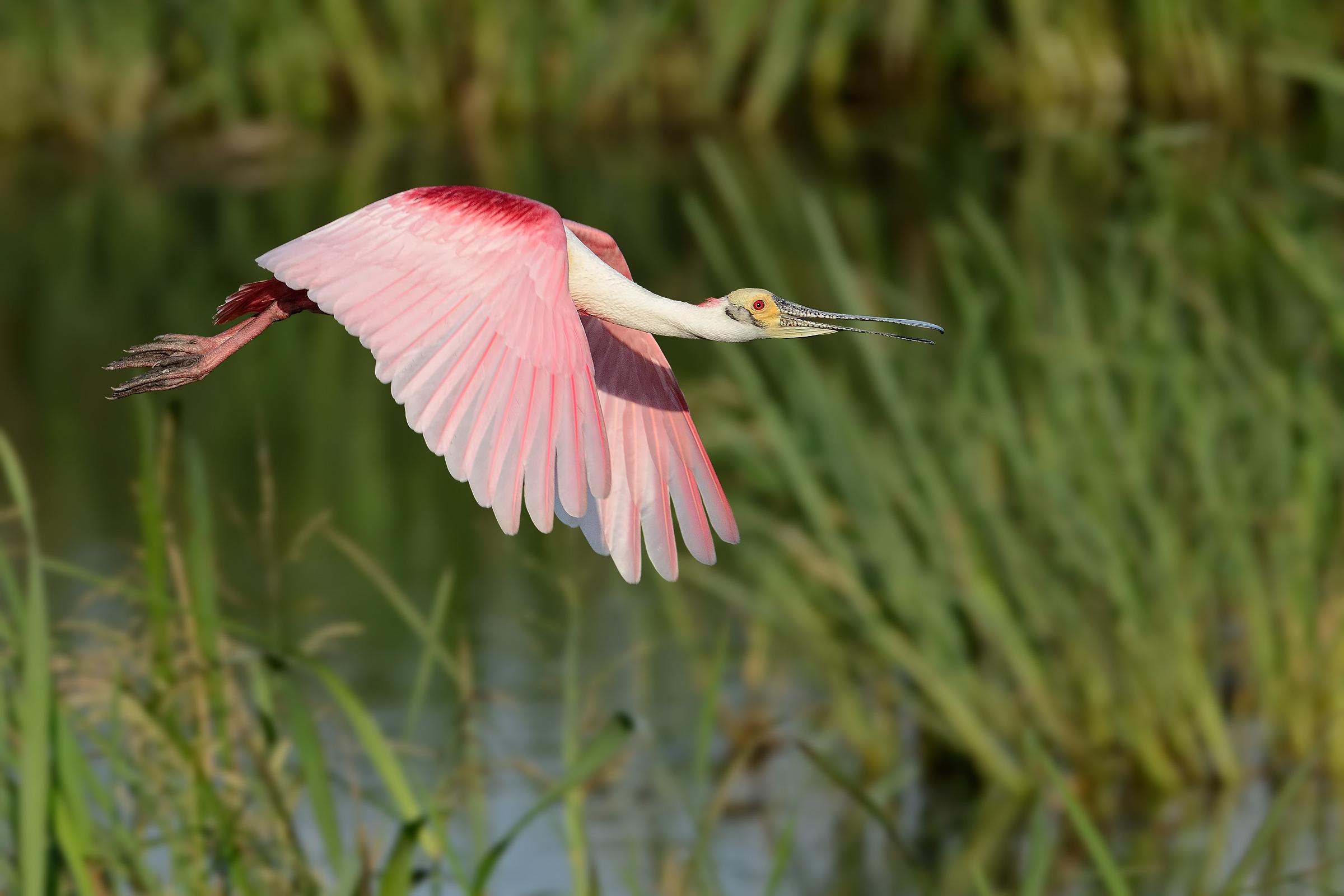 Roseate Spoonbill. Photo: Bill Dix/Audubon Photography Awards.