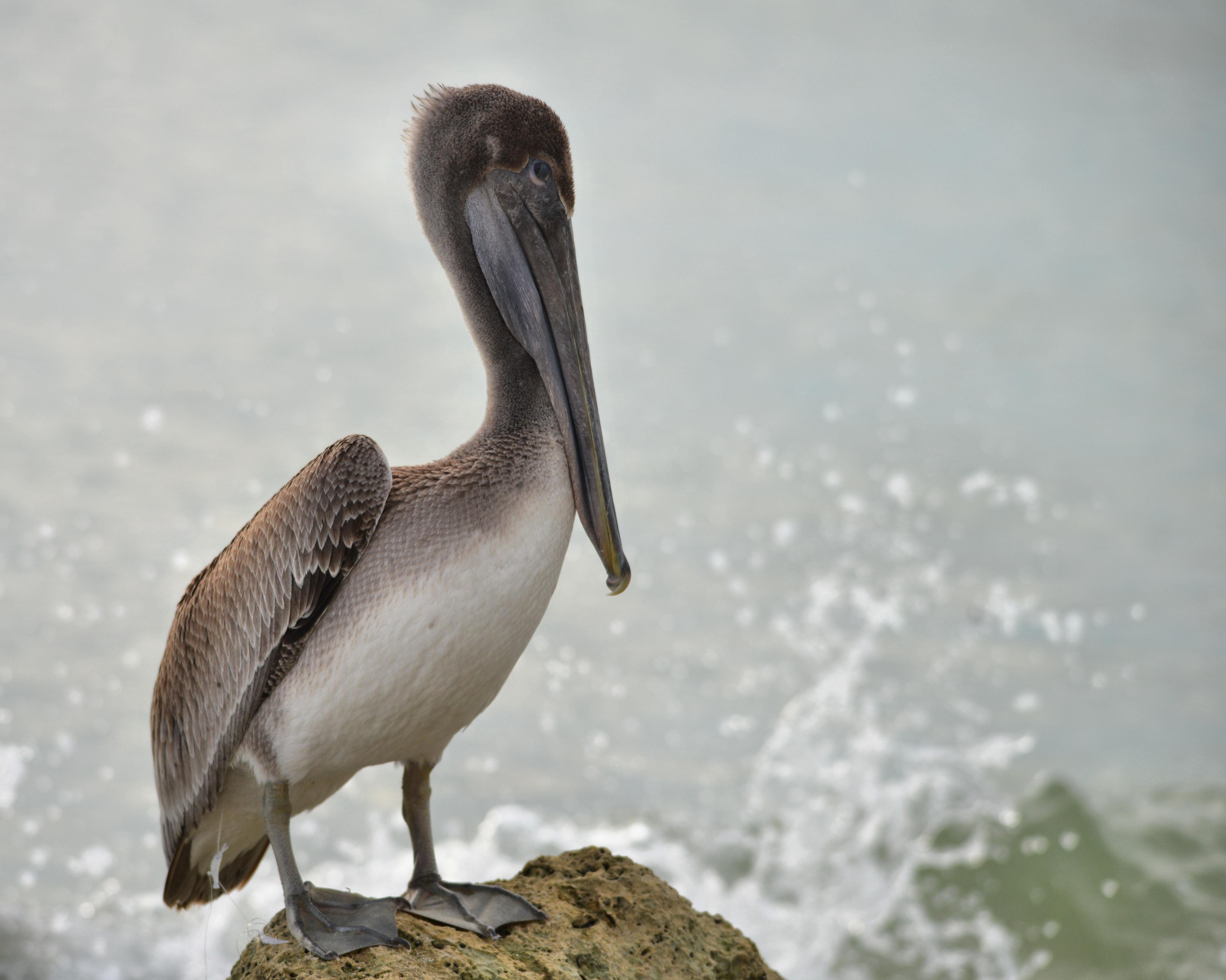 Brown Pelican. Photo: Dennis Stewart.