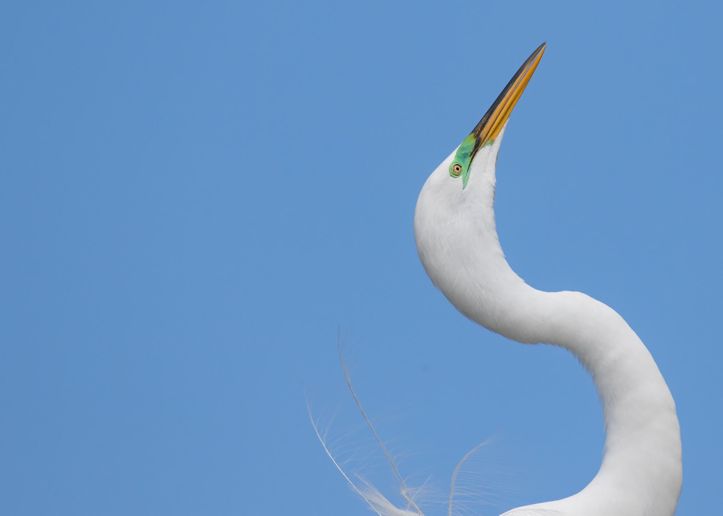 Great Egret. Photo: Jean Hall/Audubon Photography Awards.