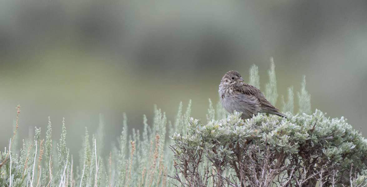 Vesper Sparrow perched on sagebrush.