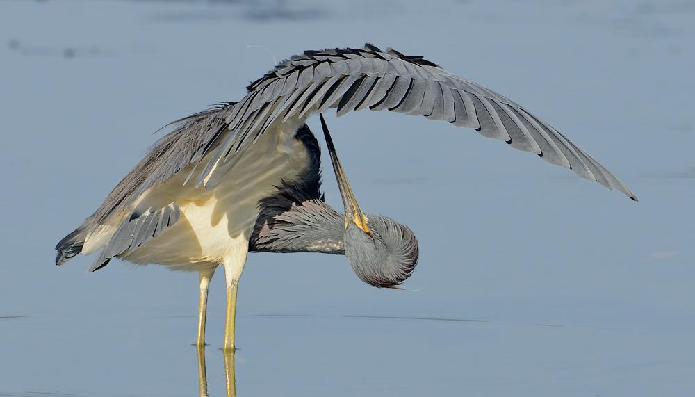 Tricolored Heron. Photo: William Dix/Audubon Photography Awards.