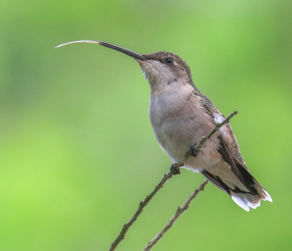 Hummingbirds are busy eating nectar in our feeders.