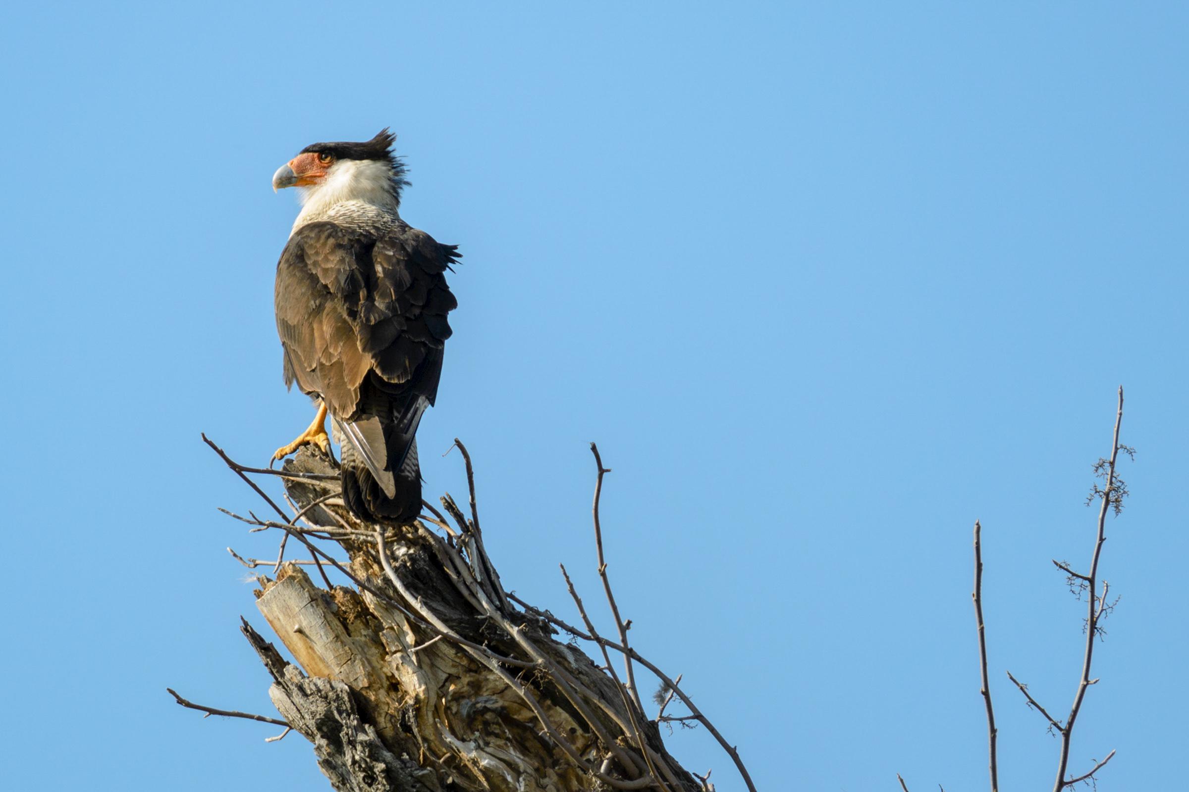 Crested Caracara. Photo: Ted Maeurer/Audubon Photography Awards.