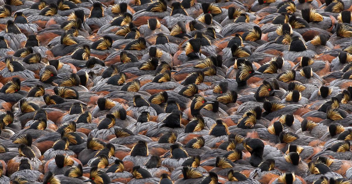 Eared Grebes. Photo: Steve Torna/Audubon Photography Awards