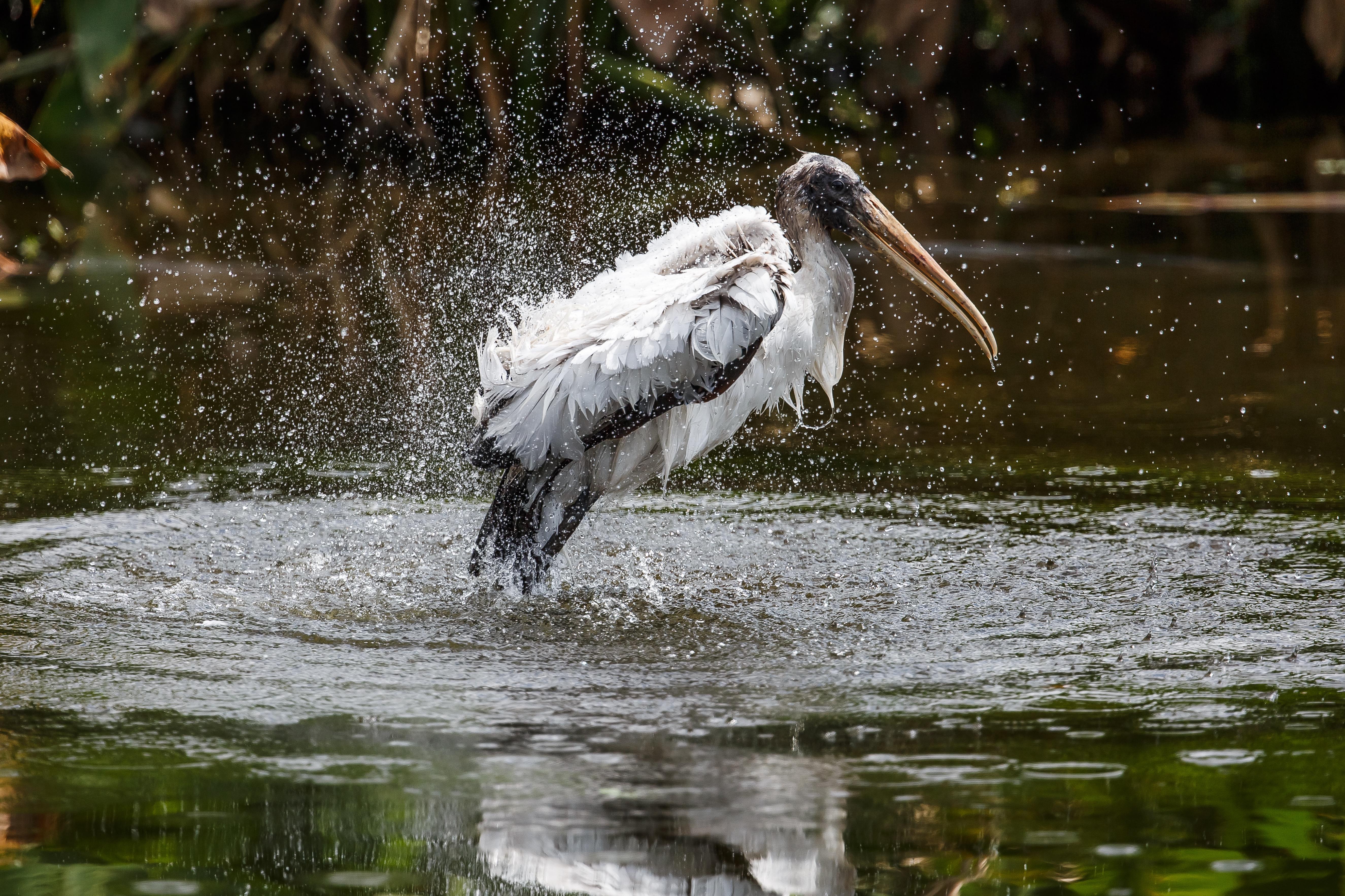 Wood Stork. Photo: Lorraine Minns/Audubon Photography Awards.