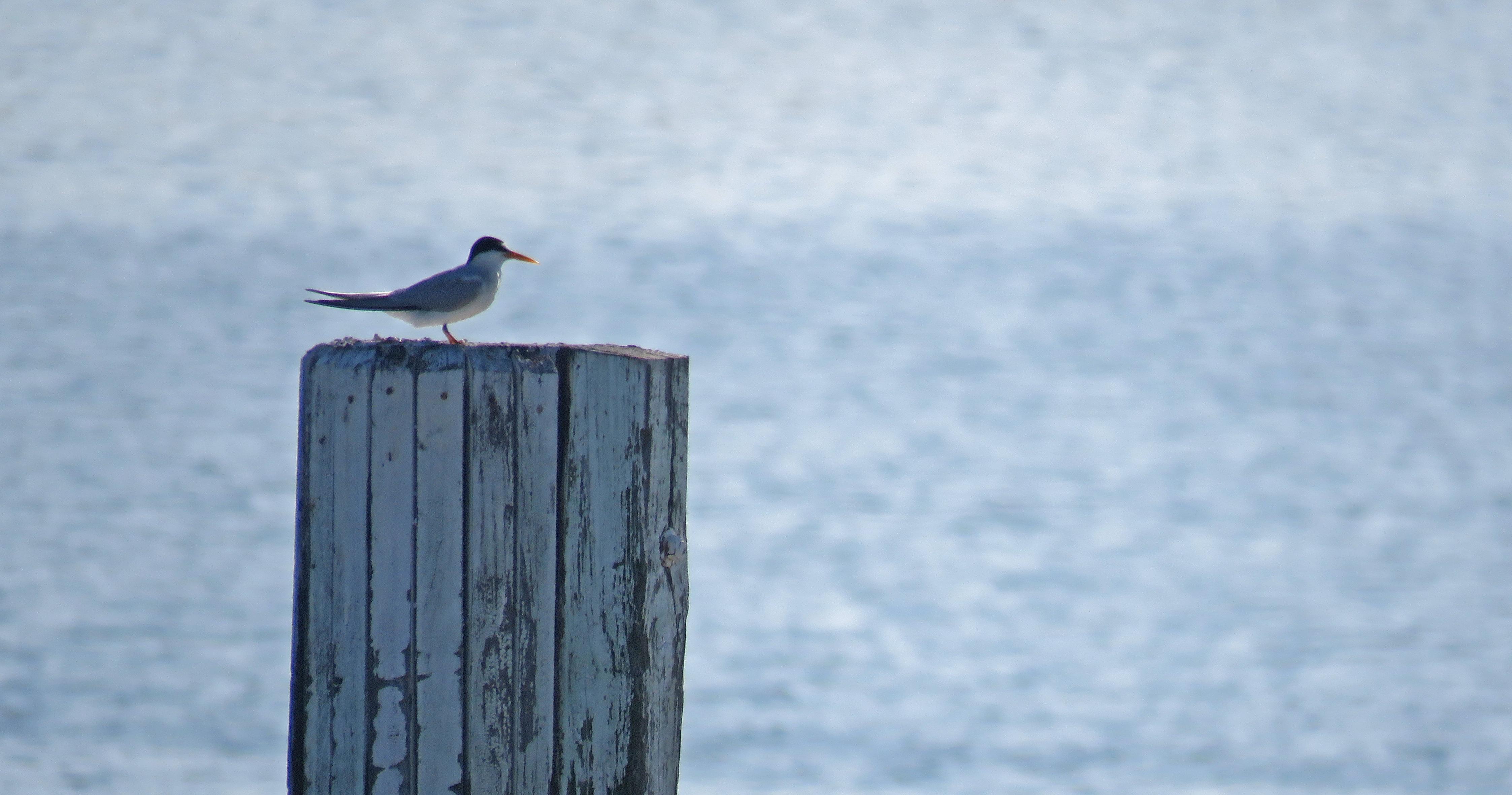 Least Tern on St. Pete Beach. Photo: Jeff Liechty