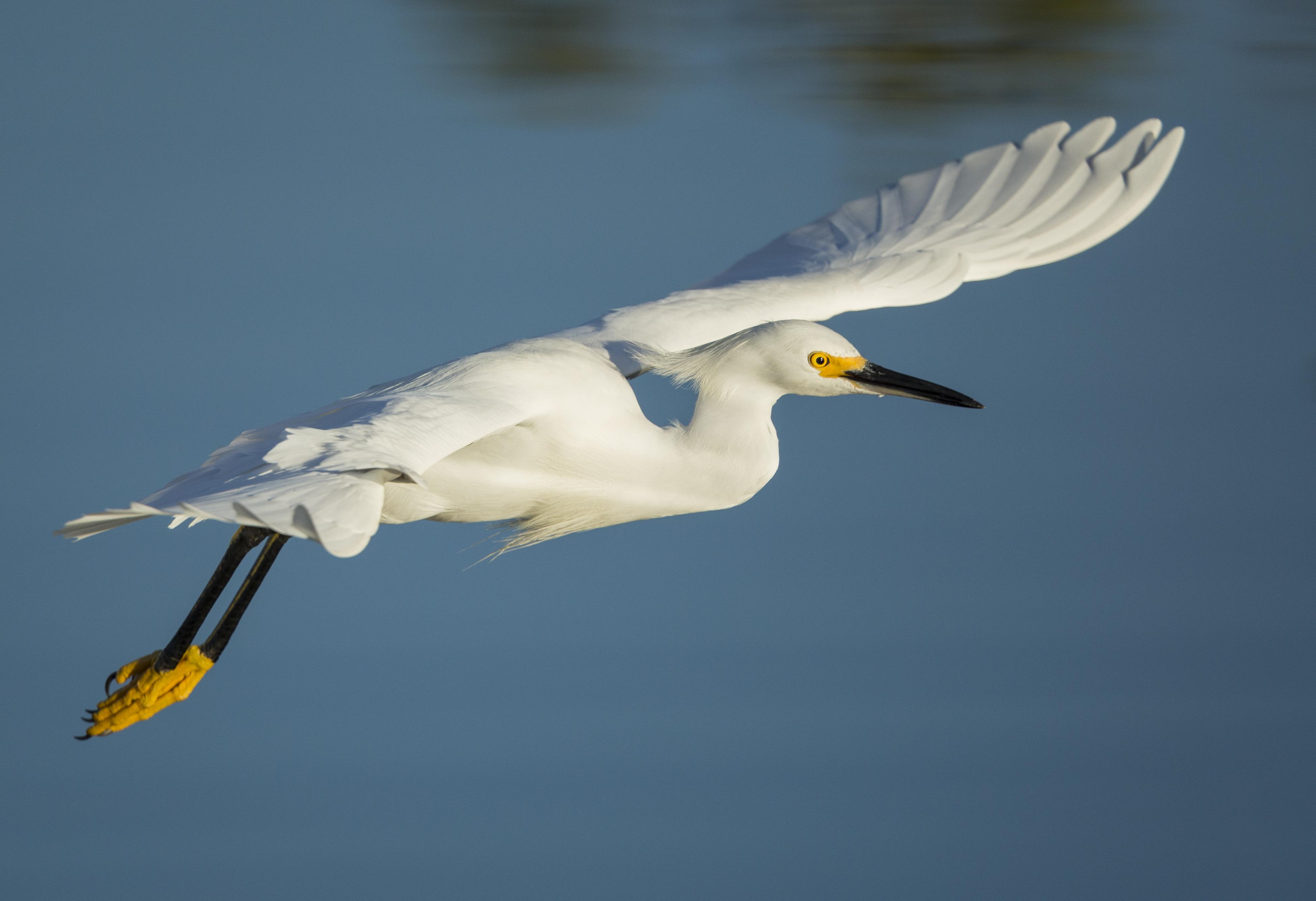 Snowy Egret. Photo: Lindsay Donald/Audubon Photography Awards.
