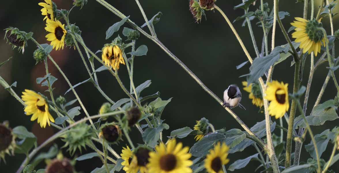 A Black-capped Chickadee eats a seed among sunflower blossoms.