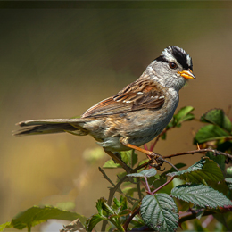 A White-crowned Sparrow perched on a berry bush.