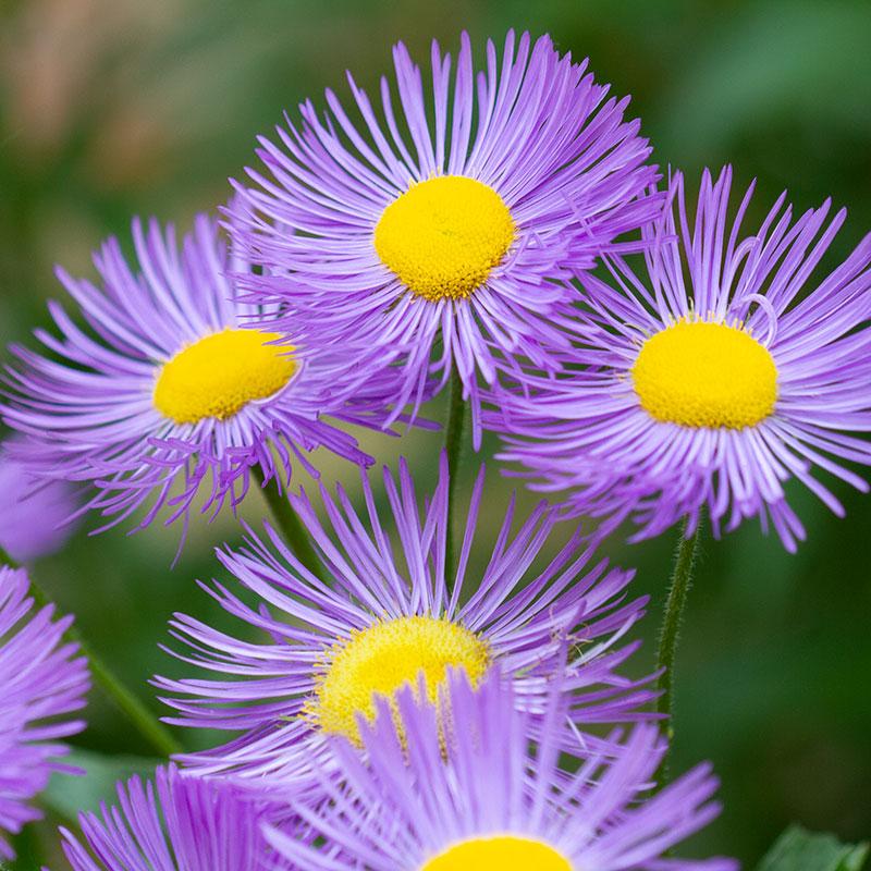 Symphyotrichum novae-angliae flowers.