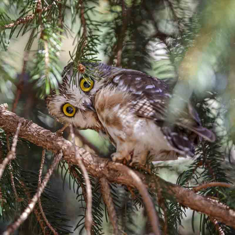 A Northern Saw-whet owl peers at the camera from a tree.