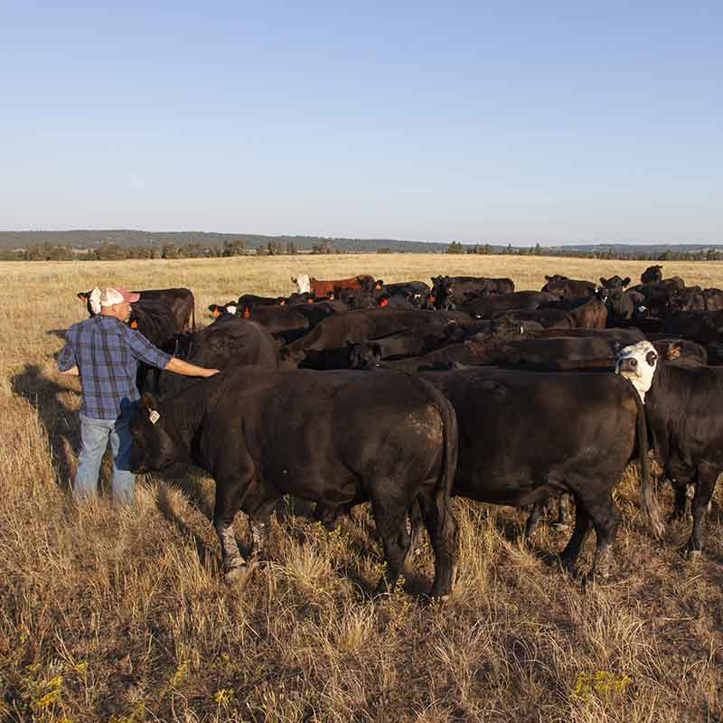 Dusty Downey with cattle on the Downey Ranch, certified by Audubon's Conservation Ranching Initiative.