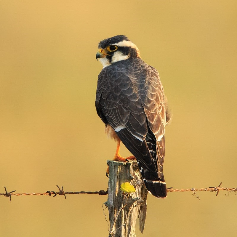 An Aplomado Falcon perches on the wooden post of a barbed wire fence.