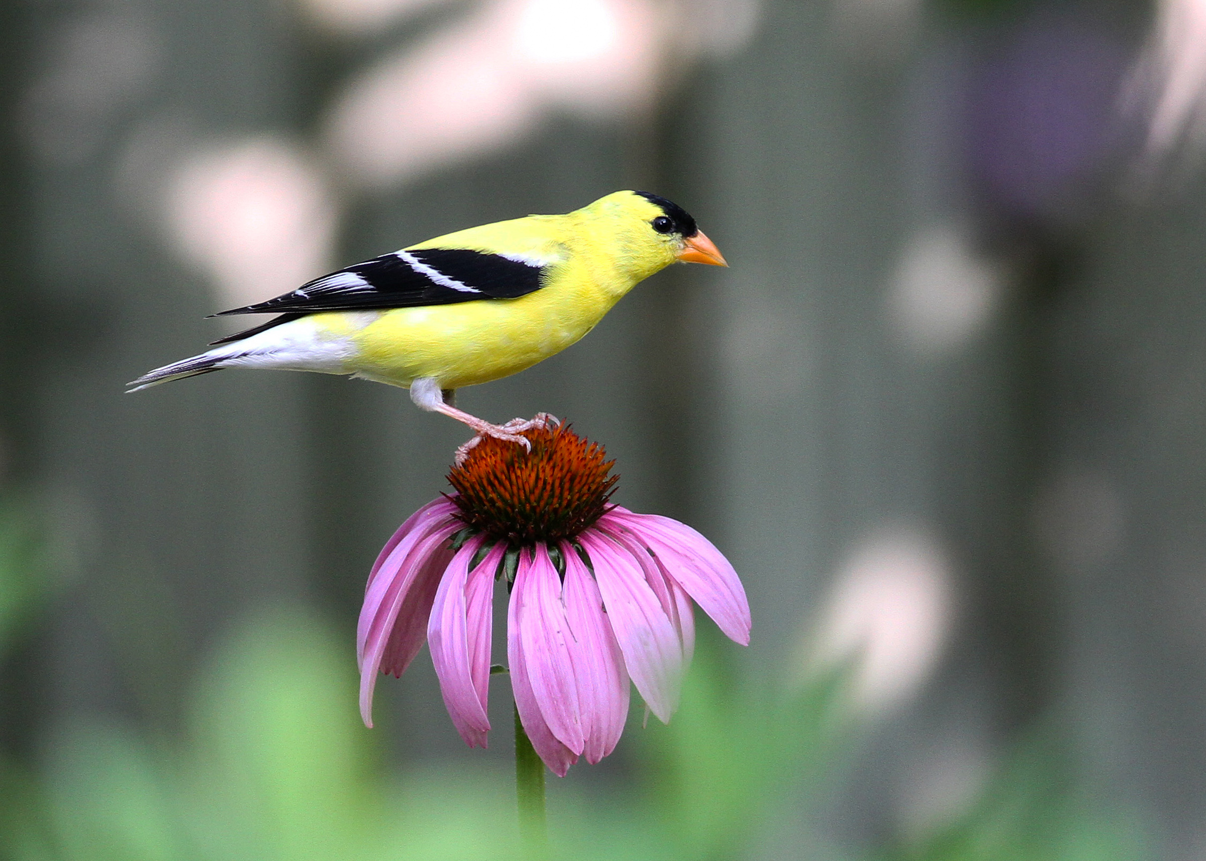 American Goldfinch and Purple Coneflower