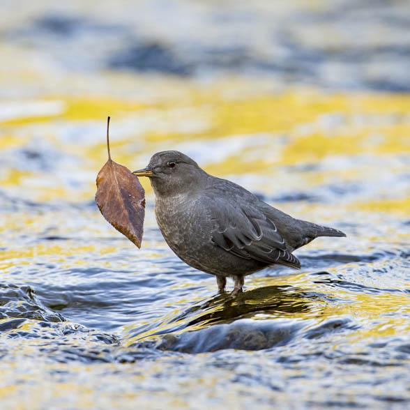 An American Dipper in a stream carrying a leaf.