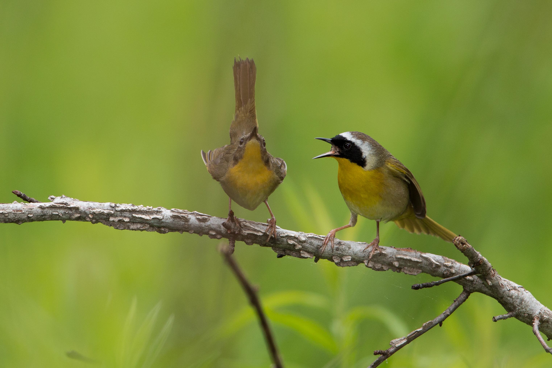 Common Yellowthroat pair